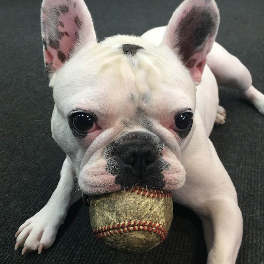 A French bulldog, named 'Hitch' with a baseball in his mouth